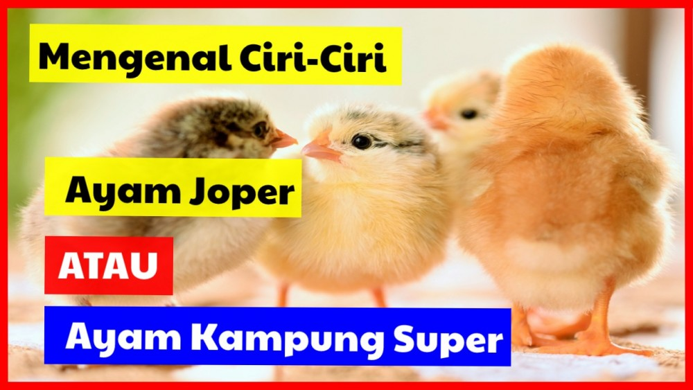 Mengenal Ciri-Ciri Ayam Joper atau Ayam Kampung Super
