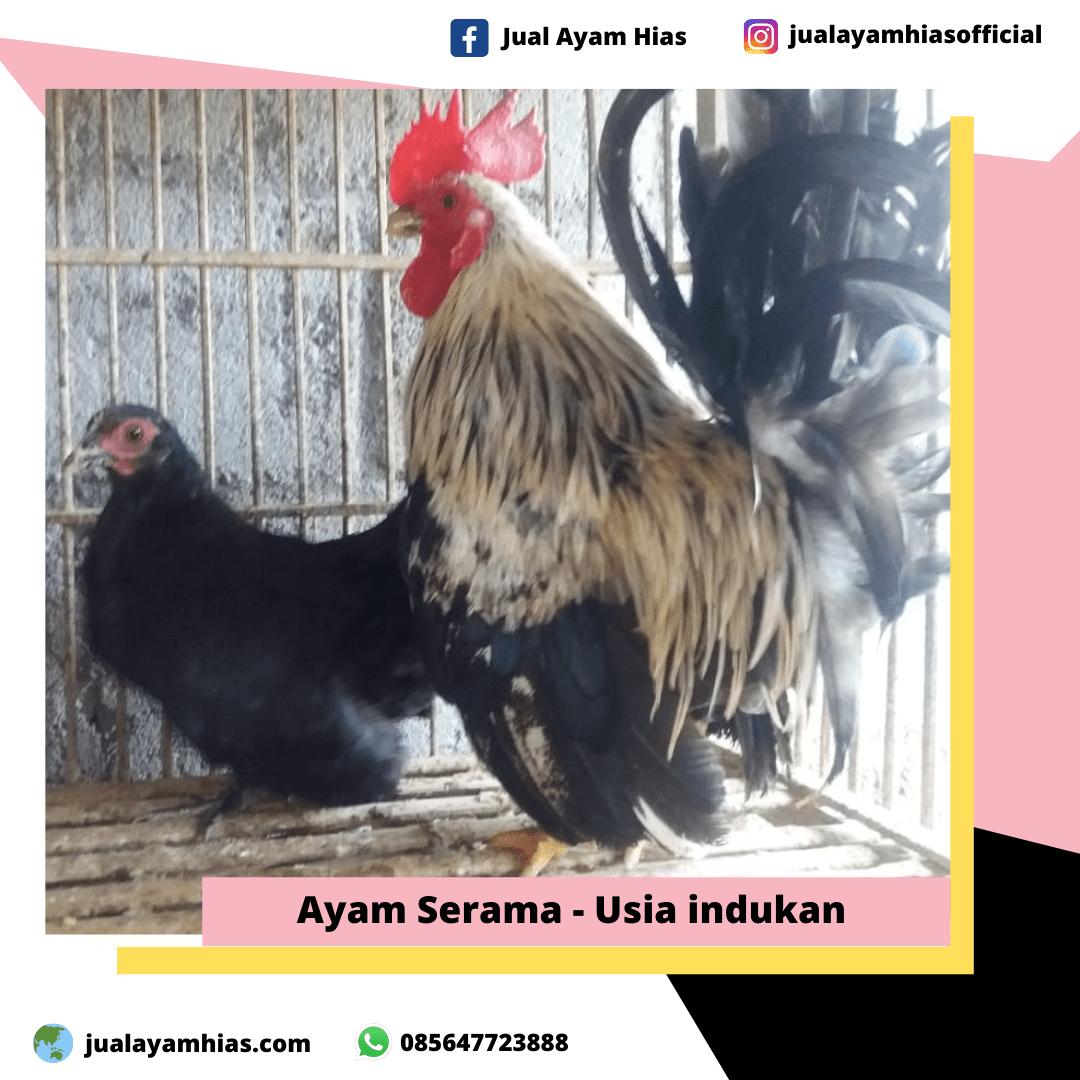Ayam Serama usia indukan