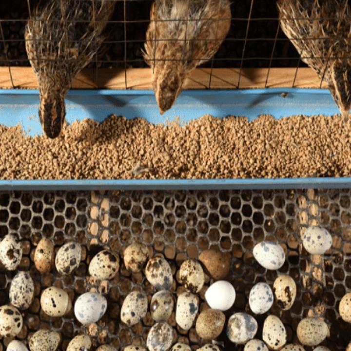 DOQ Puyuh 2 1 Jual Ayam Hias HP : 08564 77 23 888 | BERKUALITAS DAN TERPERCAYA Daftar Harga