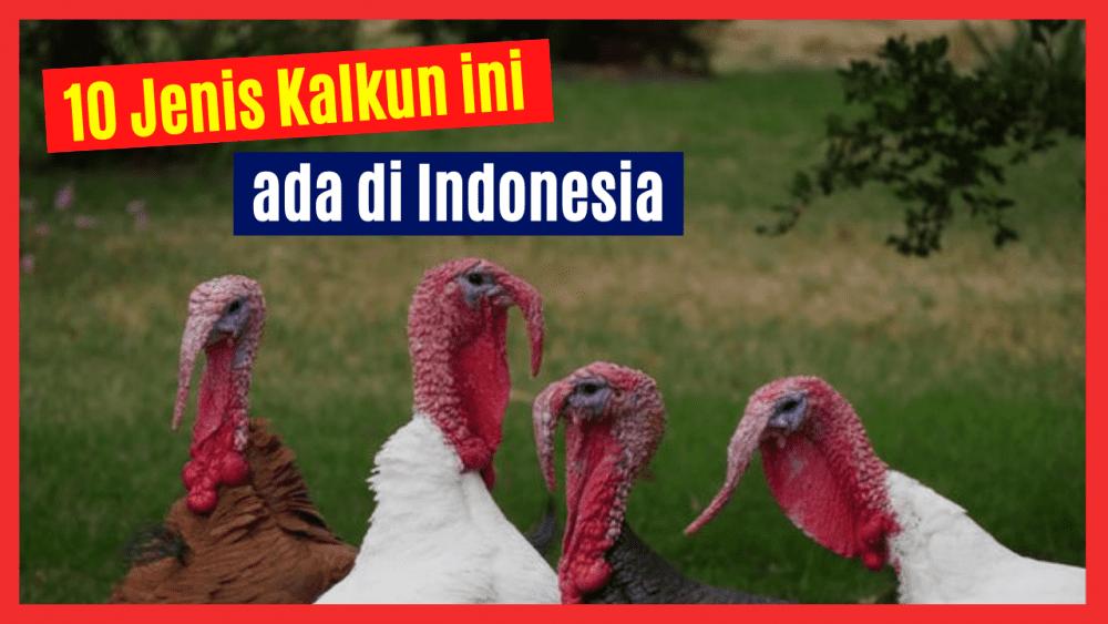 Ayam Kalku banyak diternakkan oleh masyarakat untuk diambil dagingnya maupun dijadikan sebagai hewan hias yang sangat cantik