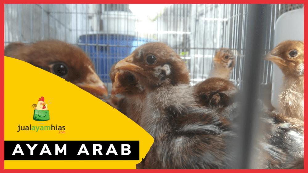 Ayam Arab Petelur Jualayamhias.com