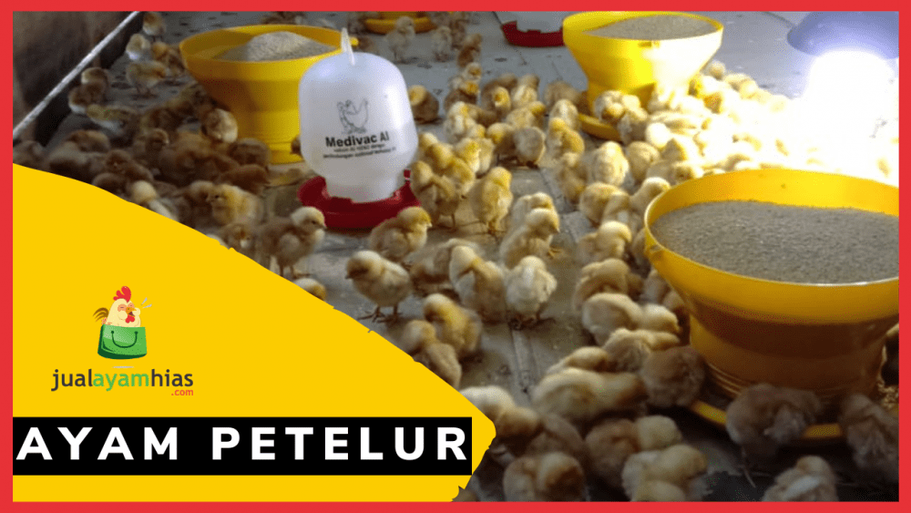 Ayam Petelur jualayamhias.com