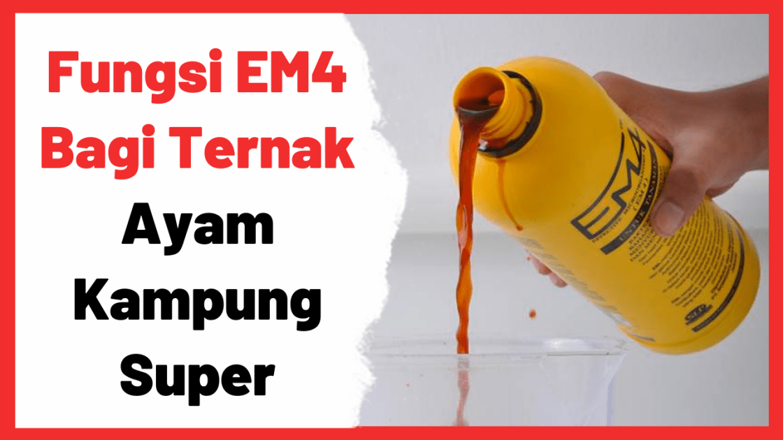 Fungsi EM4 Bagi Ternak Ayam Kampung Super (JOPER) | Cover
