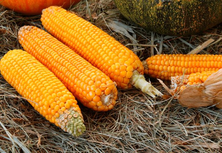 Jenis pakan jagung ini yang paling sering di gunakan oleh para pemelihara burung merpagi   Jagung