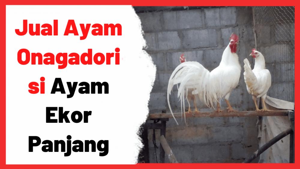Jual Ayam Onagadori si Ayam Ekor Panjang | Cover