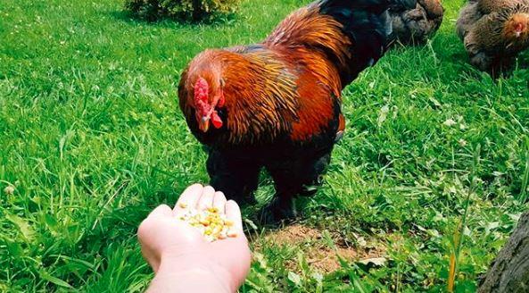 Memberi makan ayam brahma ini selain menyenangkan juga membuat ayam brahma kita semakin jinak | Pakan Ayam Brahma