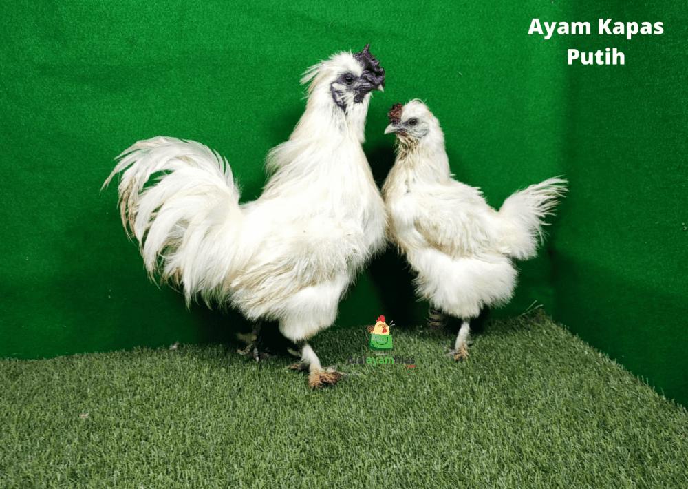 Ayam Kapas Putih Indukan