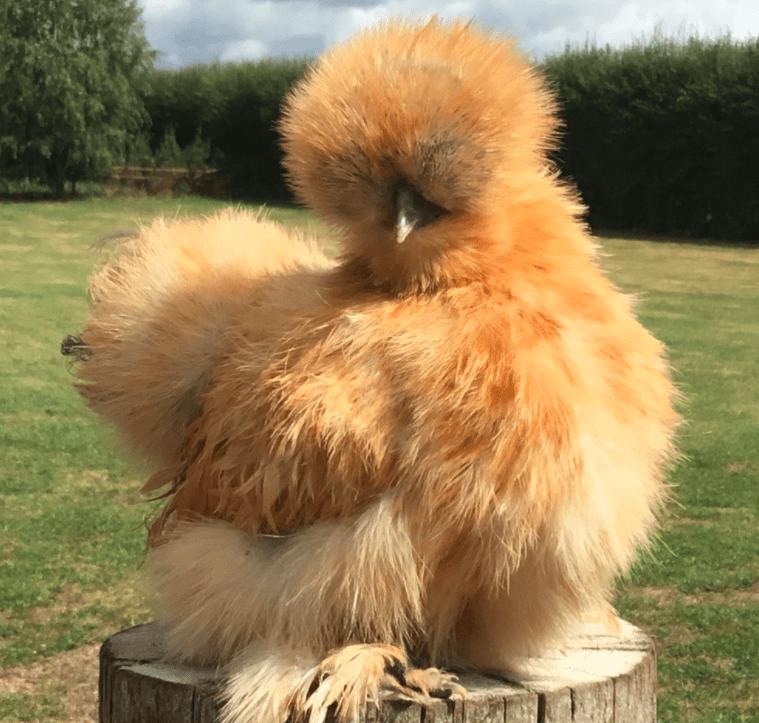 Kebersihan bulu american harus selalu dijaga supaya ayam tetap terlihat cantik dan terhindar dari serangan penyakit | Image 5
