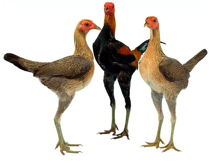 Agar menjaga tubuh ayam tetap dalam keadaan sehat, peternak perlu memberikan pakan yang bergizi dan tentunya bervitamin. | image 4