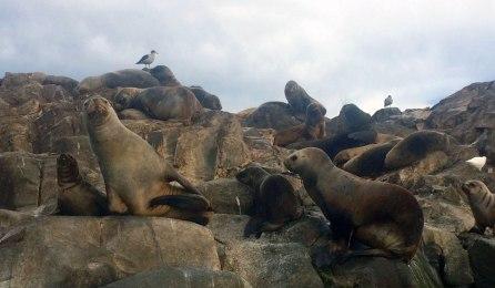 Ushuaia - Canal de Beagle - Lobos marinos