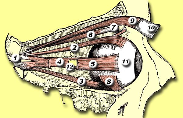 Músculos del ojo.