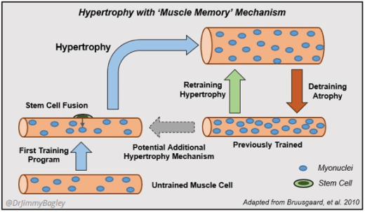 Hipertrofia muscular con memoria muscular