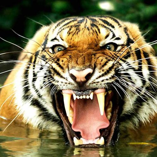 cropped-tigre-bengala2-8001.jpg