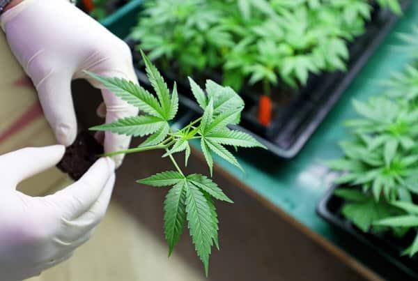 medical marijuana at midlife+gloved-hands-cannabis-plant-flat