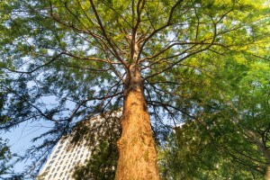 Bald Cypress tree species in Jubilee Gardens, London