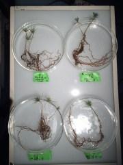 Pinus Suillus compatability pairings