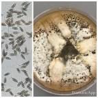 Pestalotiopsis