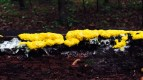 little f fungal slime mold