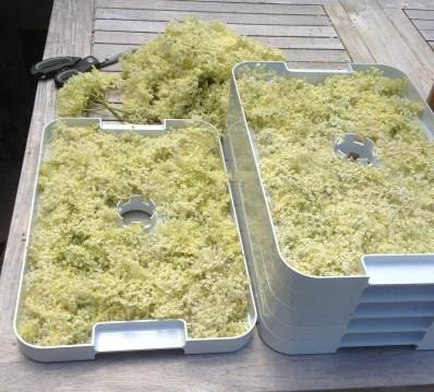 stacks of elderflowers ready for drying