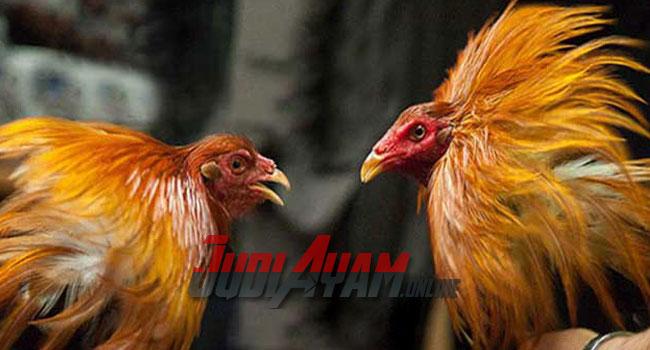 Beberapa Karakter Ayam Bangkok Wangkas Geni