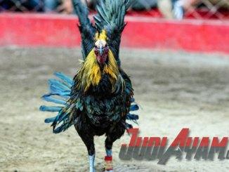 Ayam Peru