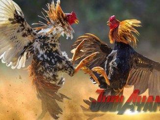 Cara Mengasa Gaya Bertarung Ayam Aduan