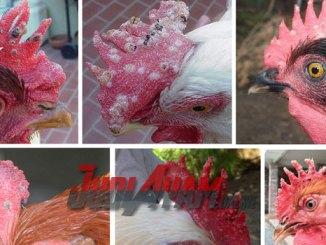 Cara Merawat Dan Mengobati Penyakit Kutil Pada Ayam