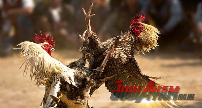 Ciri-Ciri Dan Kehebatan Ayam Aduan Philipina