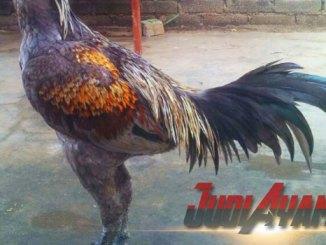 Ciri-Ciri Ekor Ayam Aduan Yang Bagus