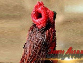 Mitos Tentang Ayam Jago Jengger Sumber Terpatahkan