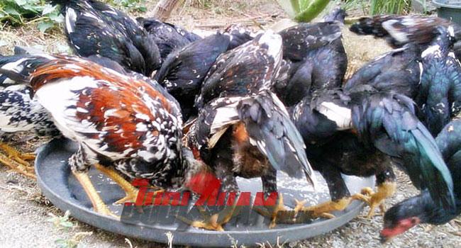 Pakan Yang Cocok Untuk Ayam Aduan