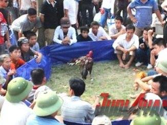 Sabung Ayam Saigon Di Acara Festival Negara Vietnam