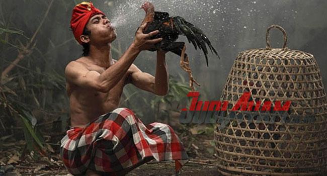 Sejarah Sabung Ayam di Pulau Jawa Sudah Ada Sejak Dulu