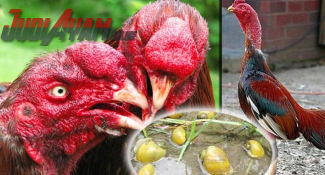 Ternyata Banyak Manfaat Keong Mas Untuk Ayam Aduan