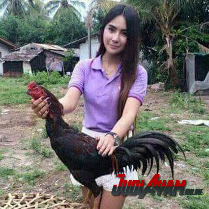 Ayam Bangkok Aduan Sehat