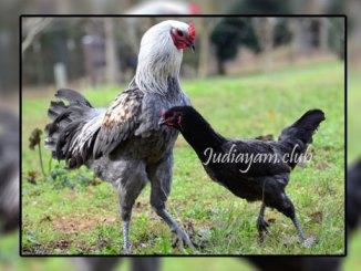 4 jenis Ayam Jago Termahal Di Dunia