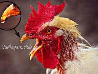 Cara Mengobati Paruh Ayam Agar Cepat Sembuh