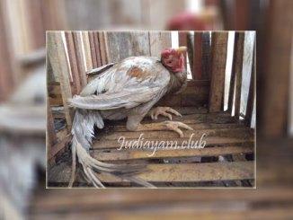 Cara Mengobati Penyakit Tetelo Pada Ayam Aduan