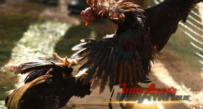 Mengetahui Teknik Pukulan Ayam Berkualitas