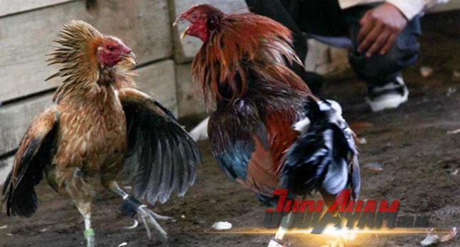 Pakan Ayam Aduan Menambah Stamina Bertarung