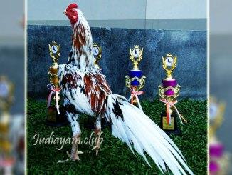 Pemenang Kontes Ayam Ratu Malaysia Di Hargai Kisaran 120 Juta