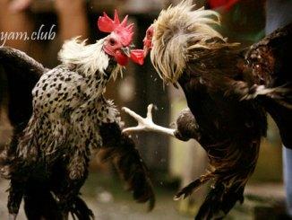 Khasiat Nasi Putih Untuk Pakan Ayam Aduan