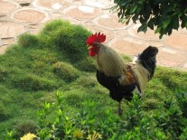 have I ever said I love roosters?