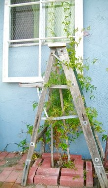 Old ladder + window frame = trellis