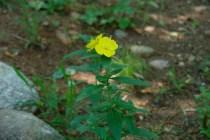 Evening primrose midday.