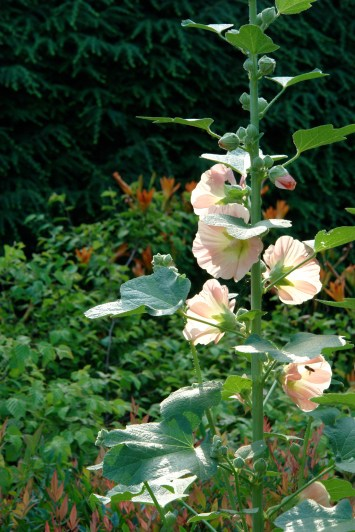 Faithful peach hollyhock
