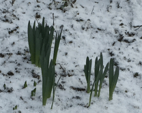 Daffodils shiver bravely.