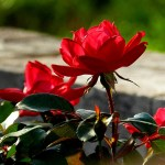 Red flower in sun
