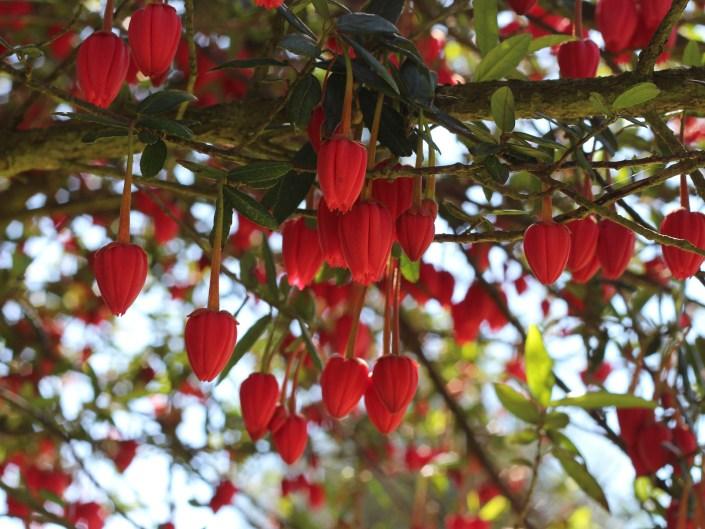 Crinodendron hookerianum Chile lantern tree