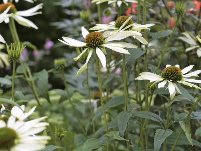 Echinacea in mixed herbaceous border